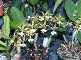 Epidendrum stamfordianum #2