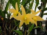 Laelia Canariensis Golden Glow