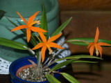 Laelia harpophylla #2