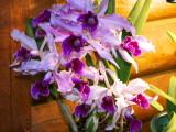 Laelia purpurata #2 v sanguinea