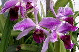 Laelia purpurata #11 flamea X striata