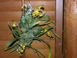 Mexicoa ghiesbreghtiana