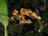 Oncidium (Baptistonia) lietzii(similar to silvanum)
