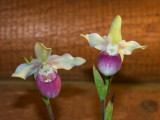 Phragmepidium slimii 'Wilcox'