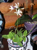 Schomburgkia thomsoniana #2 semi-alba #2 P1070410.jpg