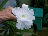 Sobralia macranth alba 'Angelica'