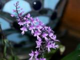 Steniglottis longifolia #2