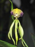 Encyclia cochleata #2