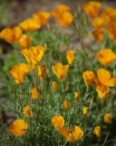 Zanjero Park : Desert Golden Poppies