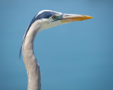 Up Close : Great Blue Heron