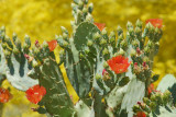 Prickly Pear contrasted with Palo Verde : Veterans Oasis
