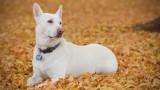 Holly Dog : White German Shepherd