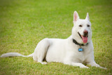 Holly : White German Shepherd : WALK Time