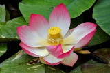 WATERLILIES AND LOTUS