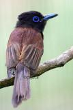 Japanese Paradise Flycatcher (Terpsiphone atrocauda)
