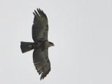 Rufous-bellied Eagle (Hieraaetus kienerii)