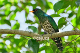Asian Emerald Cuckoo (Chrysococcyx maculatus)