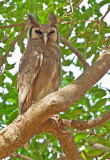 Verreaux's Eagle Owl / Verreaux-oehoe