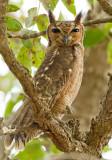 Greyish Eagle owl / Grijze oehoe