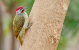 Fine-spotted woodpecker / Stippelspecht