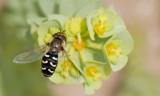 Diptera (Flies / Vliegen)