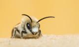 Apidae (Bee's / Bijen)
