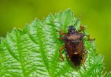 Hemiptera (True bugs / Cicades en Wantsen)