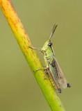 Water-meadow Grasshopper / Zompsprinkhaan