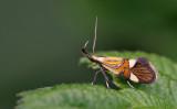 Micro moths / Micro nachtvlinders