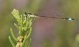 Sahara Bluetail / Sahara Lantaarntje