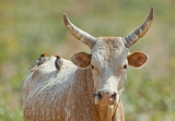 Cow with oxpeckers