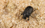 Beetles / Kevers