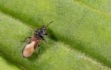 Dimorphopterus spinolae / Duinrietsapwants