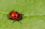 Gonioctena viminalis / Rood struikhaantje