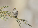 sizerin_flamme_-_common_redpoll