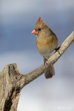 cardinal_rouge__northern__cardinal