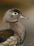 branchus__woodducks