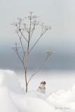 plectrophanes_des_neiges__snow_buntin