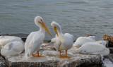 White Pelicans wintering overin Galveston