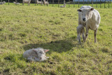 8 July 2019 - newborn lambs get the first look at a photographer