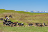 Dairy Cows in a green paddock in the Horowhenua
