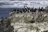 32 Cormorants, 13 Pelicans and 1 Gull