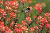 Hummingbirds, Swifts, and Swallows