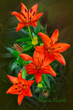 RED ASIATIC LILY_1078.jpg