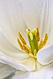 White Tulip 2892.jpg