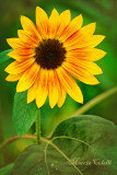 SUNFLOWER 3644.jpg