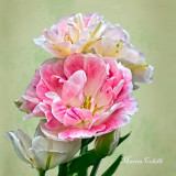 DOUBLE PINK AND WHITE TULIPS-2204.jpg