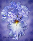 IRIS-COLOR ME BLUE 7084.jpg
