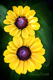 BROWN-EYED SUSAN RUDBEKIA-2495.jpg