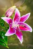 DAYLILY , CALLA LILY,  AMARYLLIS,FLAMINGO FLOWER
